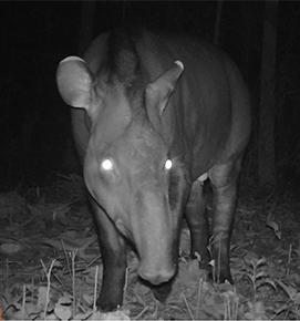 AmazonCam Tambopata